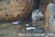 African Clawless Otter in a cleft in rocks eating a fish