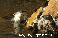 African Clawless Otter in the water by a rock, looking straight at the camera