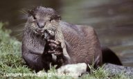 Smooth-Coated Otter eating fish